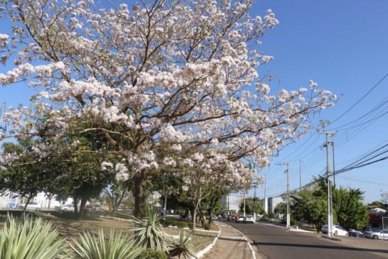 CIDADE: COLORIDO DOS IPÊS EMBELEZA VIAS DE MARABÁ E AMENIZA TEMPERATURA