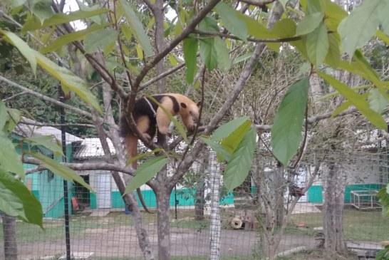 GMM: GRUPAMENTO AMBIENTAL RESGATA TAMANDUÁ NA ORLA DO RIO TOCANTINS