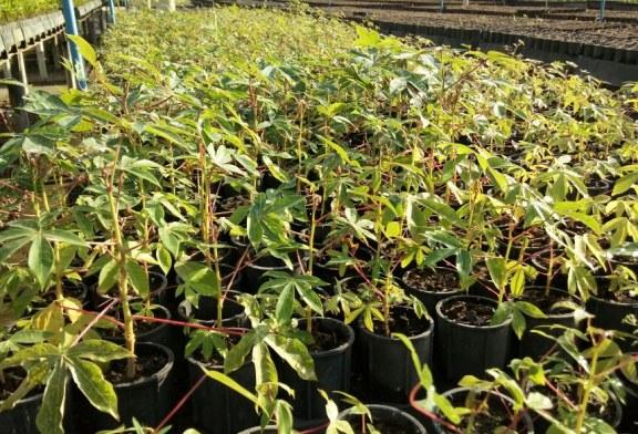 AGRICULTURA: SEAGRI E PARCEIROS REINICIAM REPRODUÇÃO DE VEGETAIS BIOFORTIFICADOS